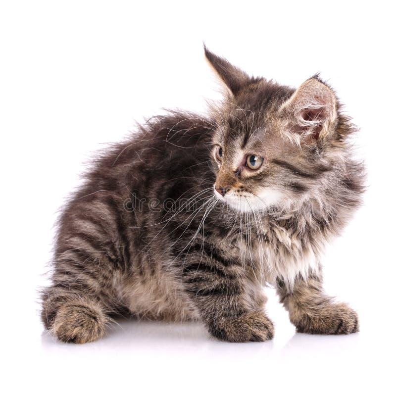 O gatinho macio, listrado senta-se lateralmente Isolado em um fundo branco fotos de stock