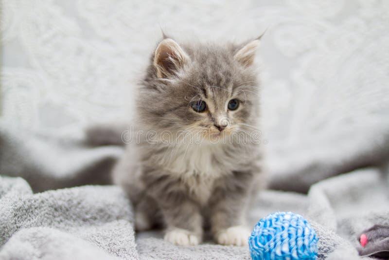 O gatinho macio pequeno do racum de Grey Persian Maine está jogando com a bola azul pequena Gatinho, animais da criança e conceit fotografia de stock royalty free