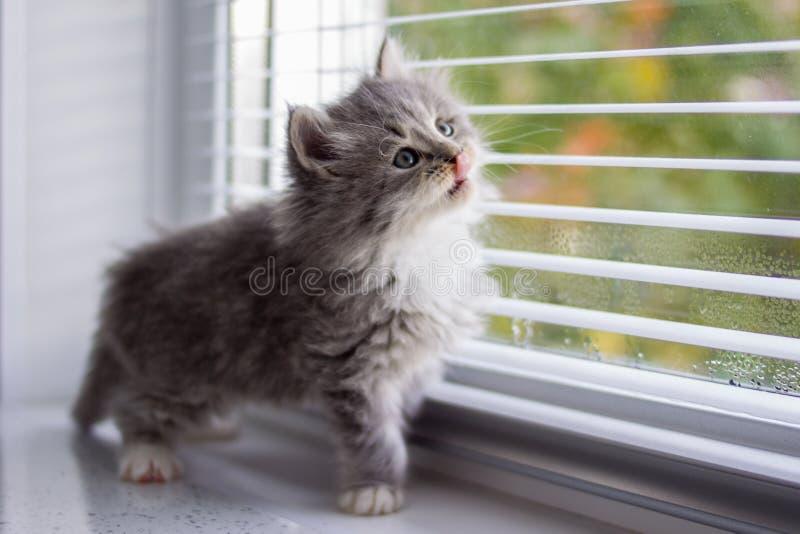 O gatinho macio pequeno do racum de Grey Persian Maine senta o nera a janela e lambe o nariz com língua Gatinho, animais da crian fotos de stock