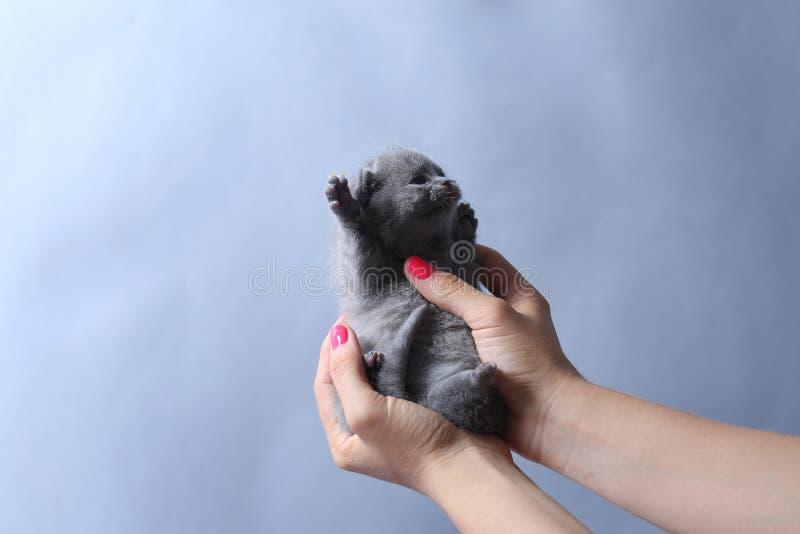O gatinho mia nas mãos da mulher fotos de stock royalty free