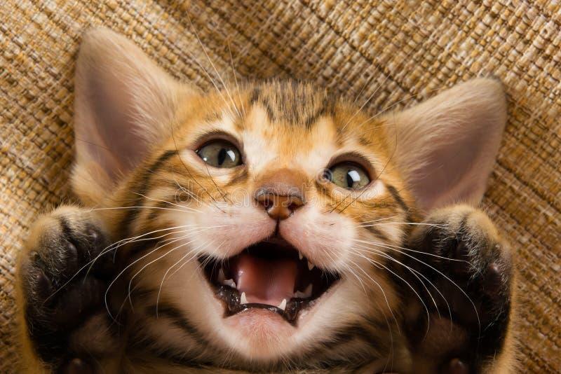 O gatinho mostra as patas, miados, encontrando-se sobre para trás imagens de stock royalty free