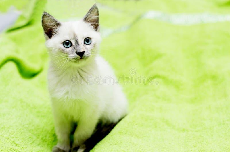 O gatinho neve-branco com olhos azuis senta-se em uma cama imagem de stock