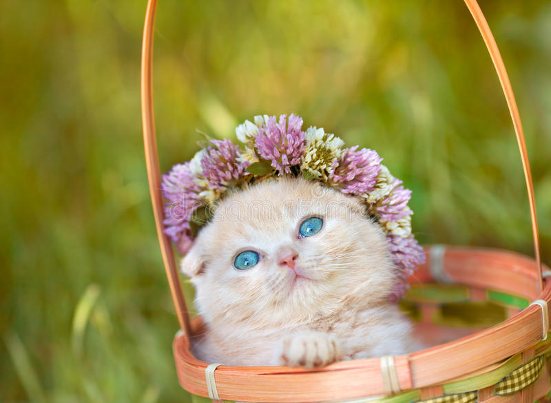 O gatinho pequeno coroou com um chaplet do trevo imagens de stock