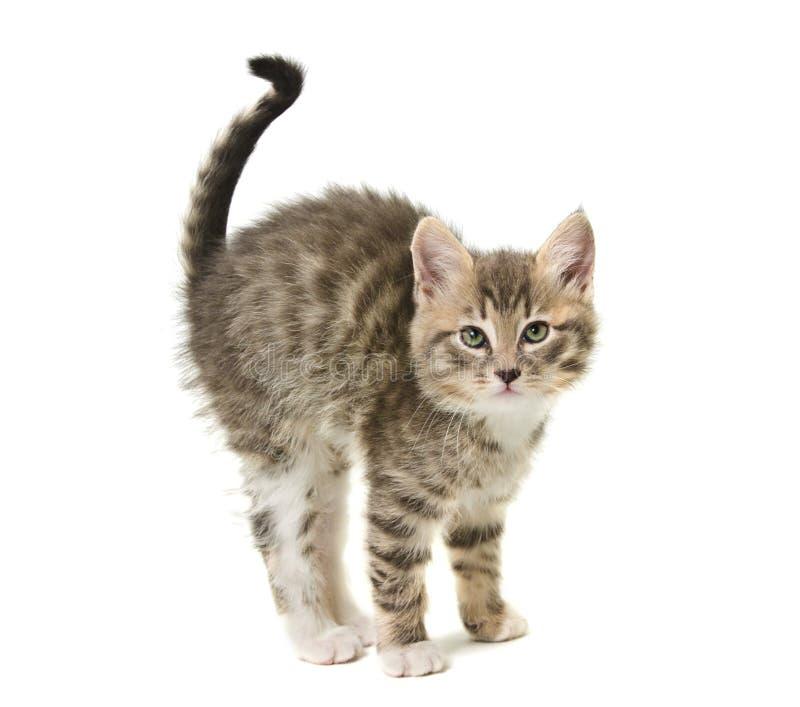 O gatinho pequeno curvou uma parte traseira fotografia de stock