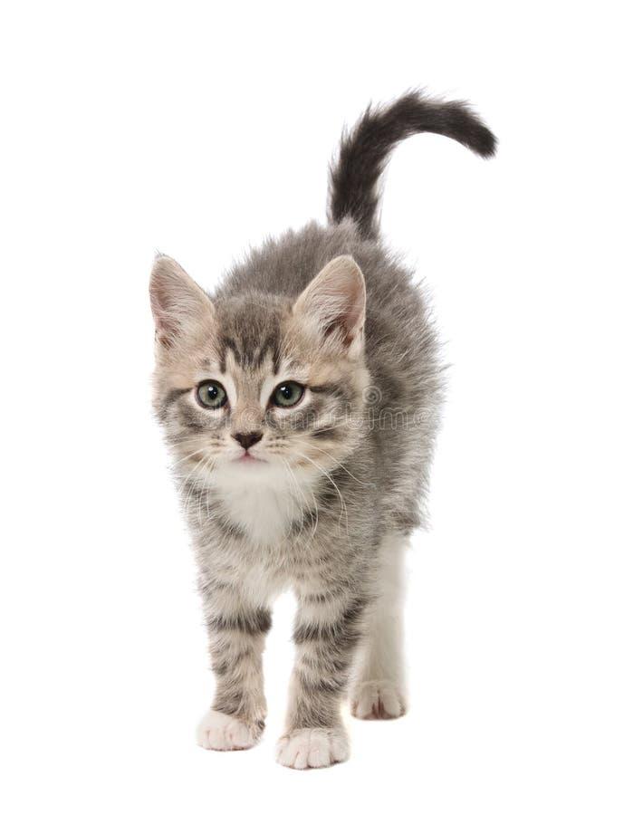 O gatinho pequeno curvou uma parte traseira imagens de stock royalty free