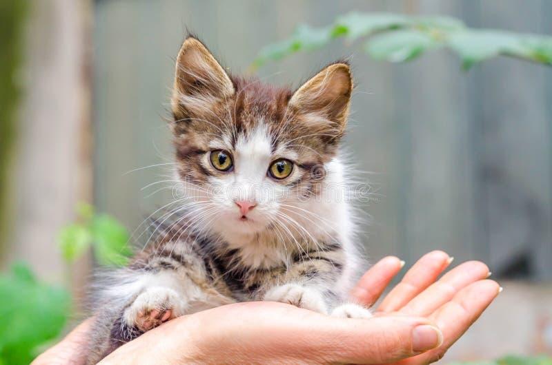 O gatinho pequeno dos cuidados dos animais de estimação da cor do gato malhado senta-se nas palmas fêmeas abertas fotos de stock royalty free