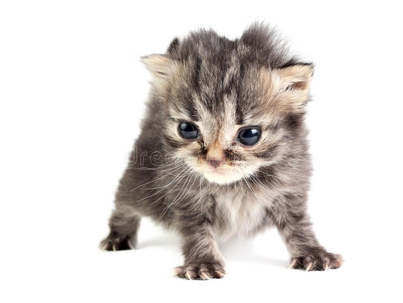 O gatinho pequeno isolou-se foto de stock
