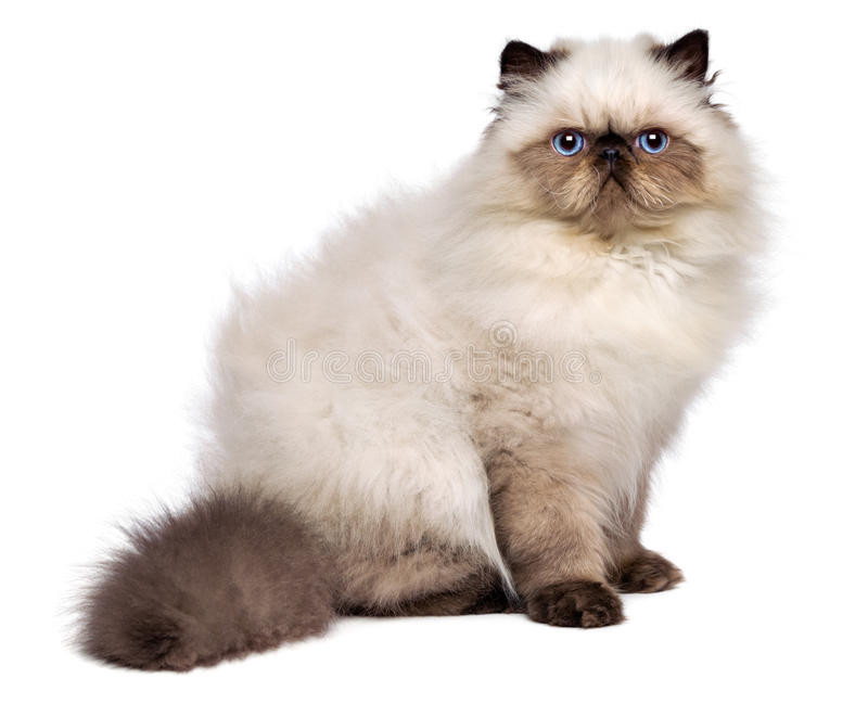 O gatinho persa bonito do colourpoint do selo está sentando-se lateralmente fotografia de stock royalty free