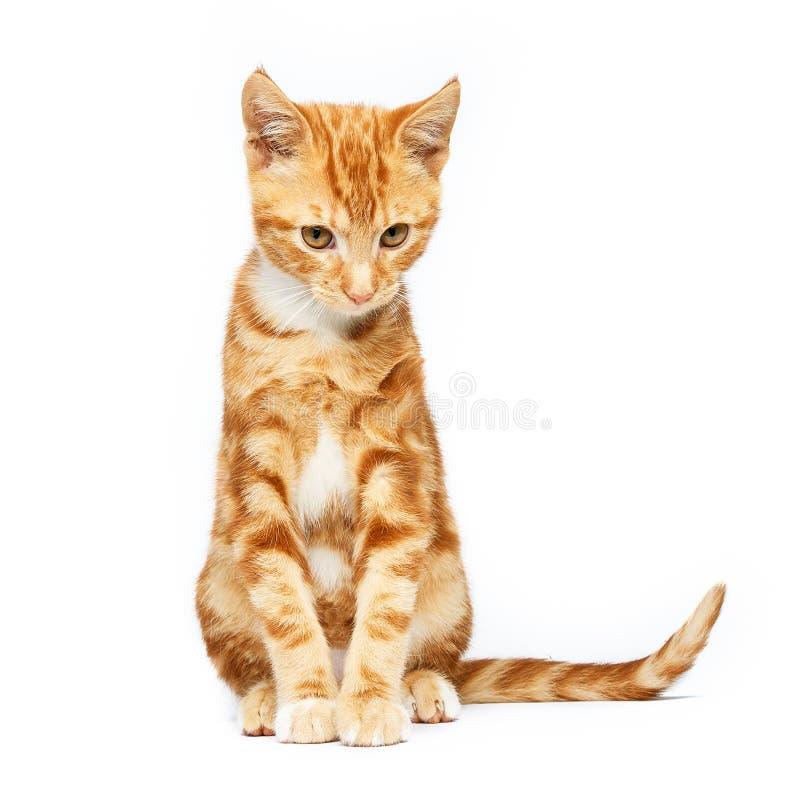 O gatinho vermelho do gato malhado do gengibre adorável isolado em um fundo branco com orelhas gosta de chifres do diabo fotografia de stock royalty free