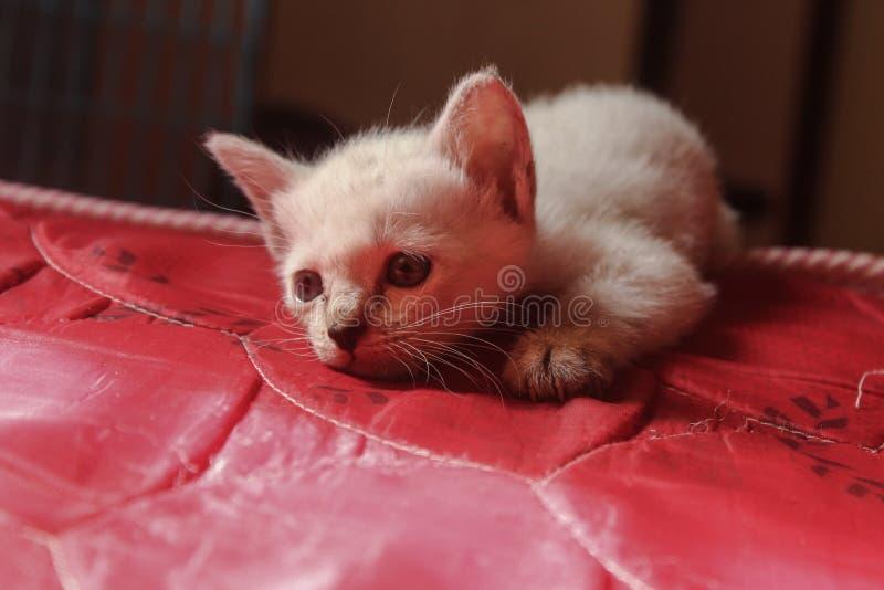 O gato é olhado atraído fotos de stock royalty free