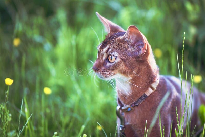 O gato Abyssinian da cor selvagem, retrato do close-up, anda ao longo do gramado com flores foto de stock