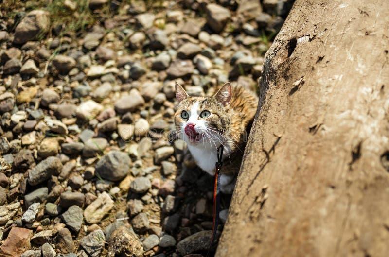 O gato adorável do gengibre lambe sua boca fora fotografia de stock royalty free