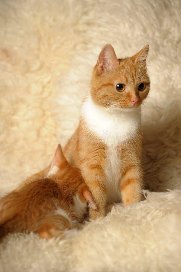 O gato alimenta um gatinho imagem de stock royalty free