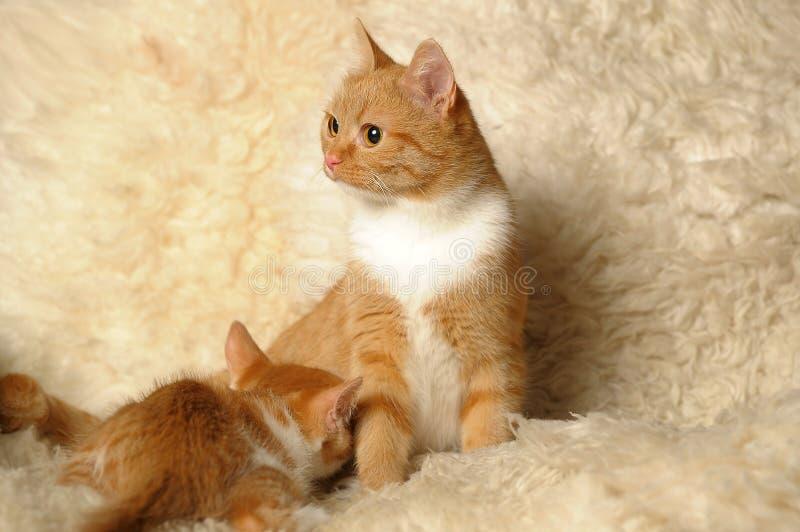 O gato alimenta um gatinho fotografia de stock