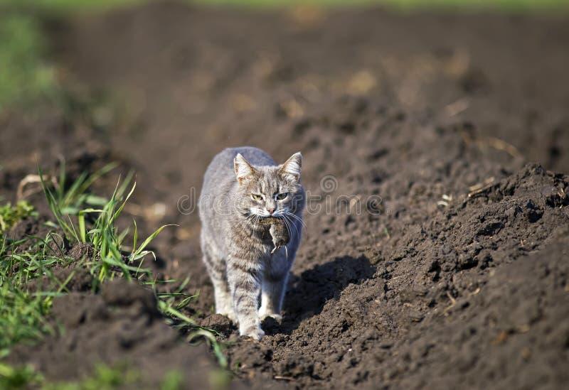 o gato anda abaixo da rua no jardim em uma exploração agrícola com um rato cinzento travado em seus dentes fotografia de stock