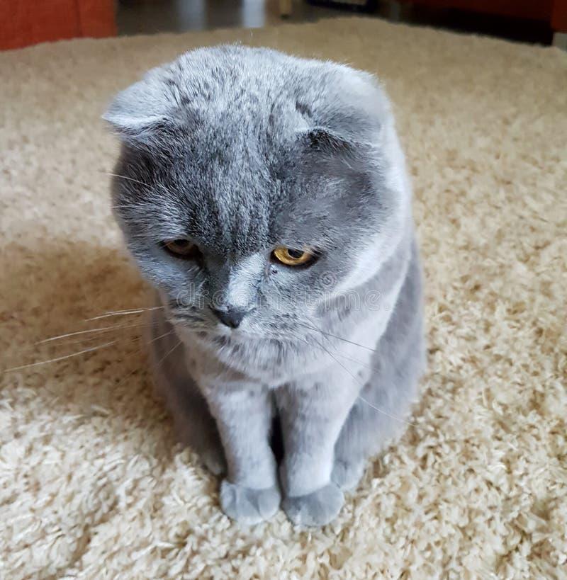 O gato bonito Animal de estimação favorito fotografia de stock