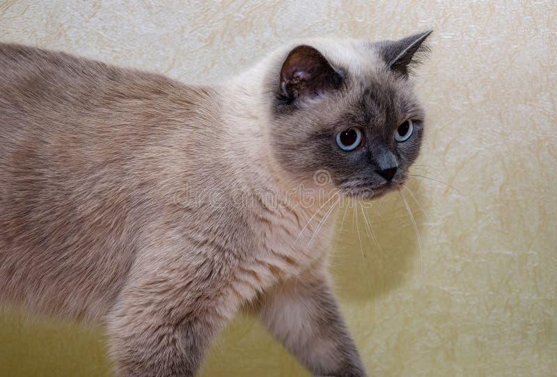O gato bonito, cinzento vai em algum lugar, close-up foto de stock royalty free