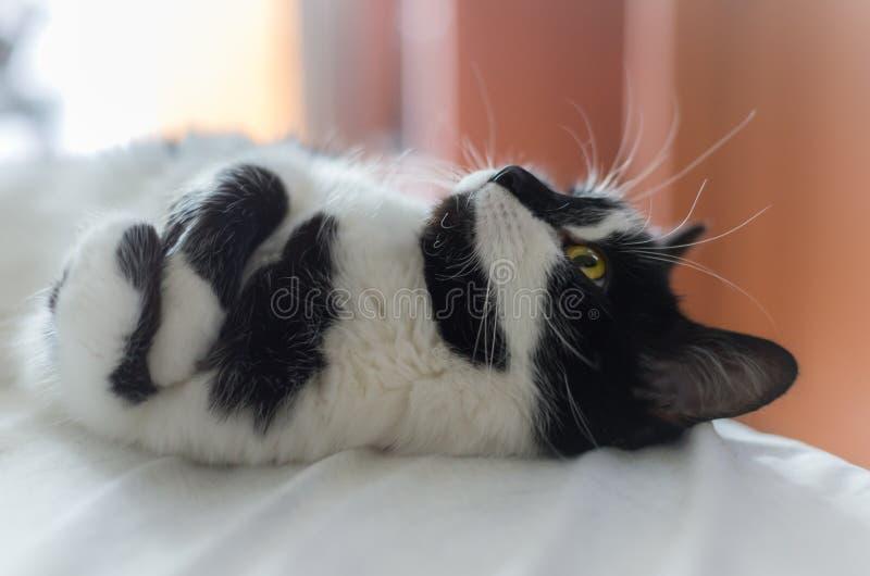 O gato bonito encontra-se na cama e no sonho sobre um pássaro fotos de stock royalty free