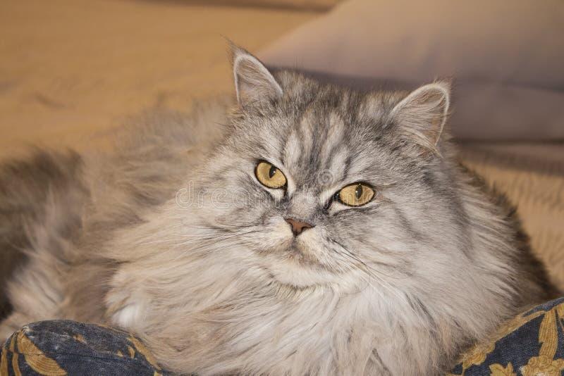 O gato bonito mostra a língua o gato macio bonito com olhos amarelos fotos de stock