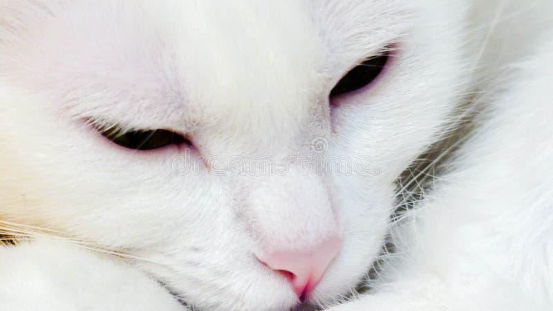 O gato branco com olhos abriu imagens de stock royalty free