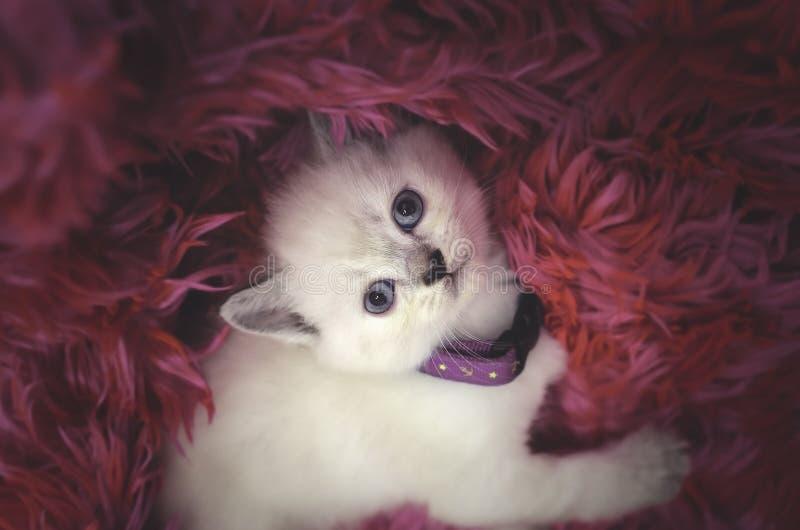 O gato branco do cachorrinho bonito dorme em uma cobertura cor-de-rosa vermelha da pele imagens de stock