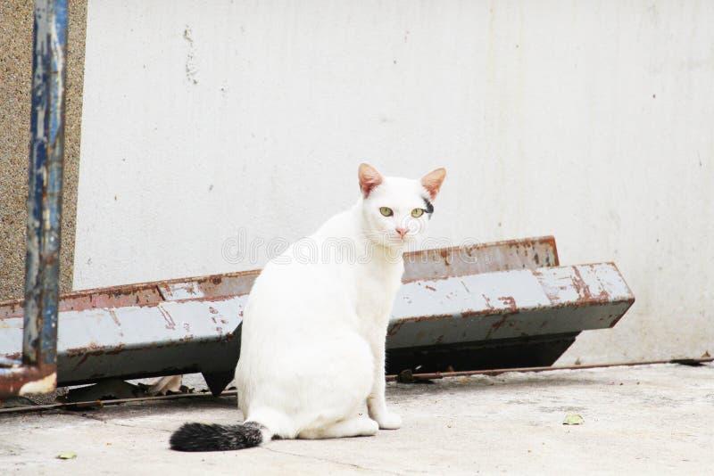 O gato branco em Tailândia está sentando-se imagem de stock