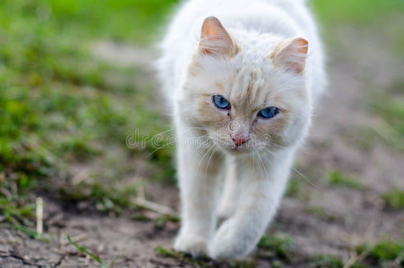O gato branco está indo caçar ratos no campo imagem de stock