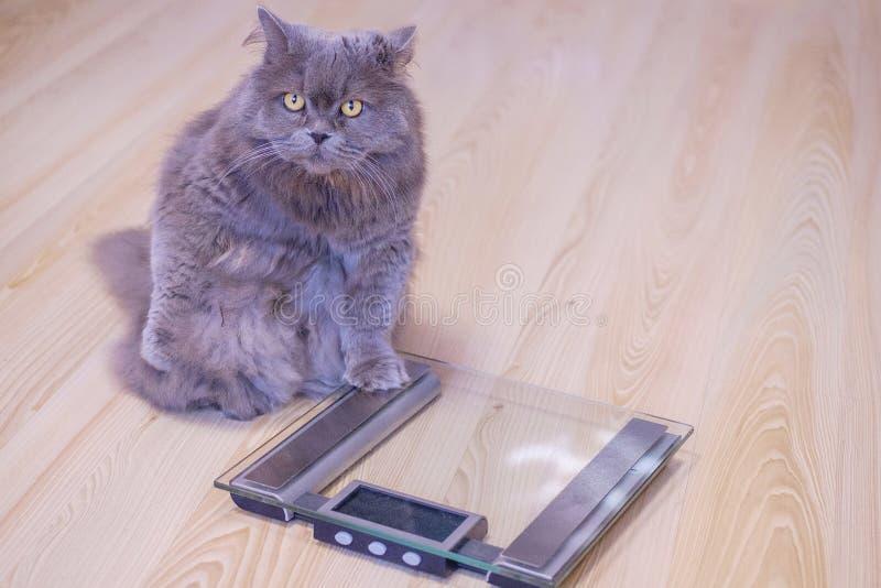 O gato britânico de cabelos compridos grande cinzento senta-se perto das escalas e olha-se acima Ganho de peso durante os feriado fotografia de stock