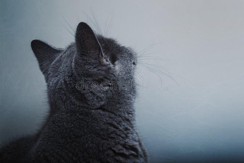 O gato britânico de cabelos curtos cinzento olha a parede foto de stock royalty free