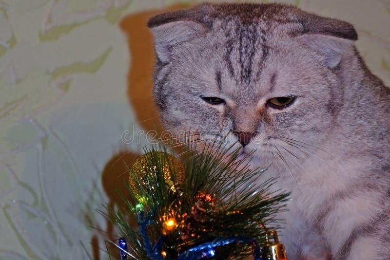O gato britânico do shorthair do gato malhado decora a árvore de Natal Preparação por o ano novo fotos de stock
