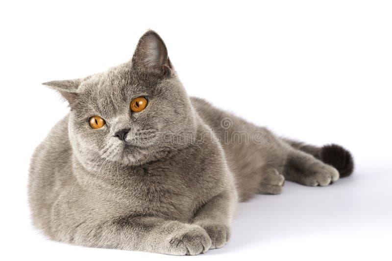 O gato britânico encontra-se em um fundo branco e olha-se no distan foto de stock royalty free