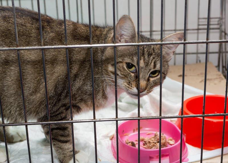 O gato cinzento bonito é abrigo prendido triste imagem de stock royalty free