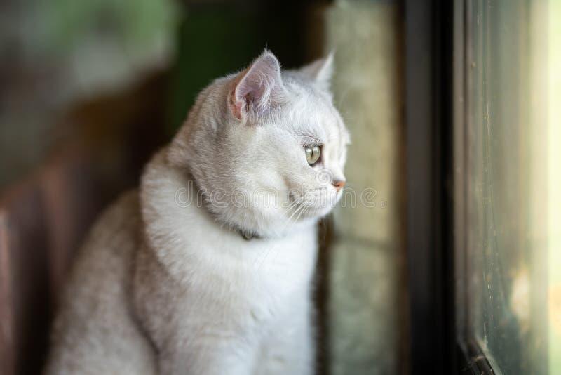 O gato cinzento está sentando-se para fora olhando para fora a janela Do interior da sala na casa imagens de stock royalty free