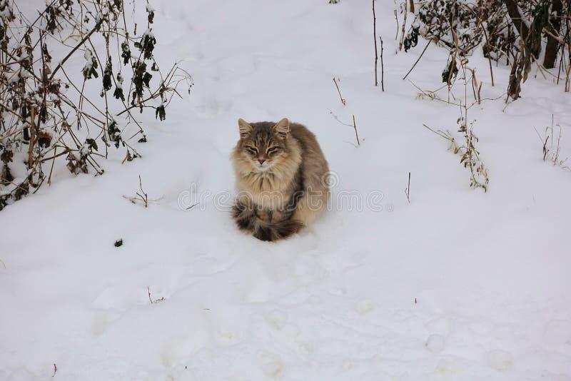 O gato cinzento macio senta-se em um trajeto coberto de neve imagem de stock