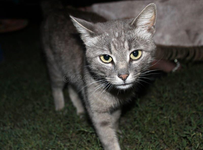 O gato cinzento na noite vai aproximadamente seu negócio foto de stock