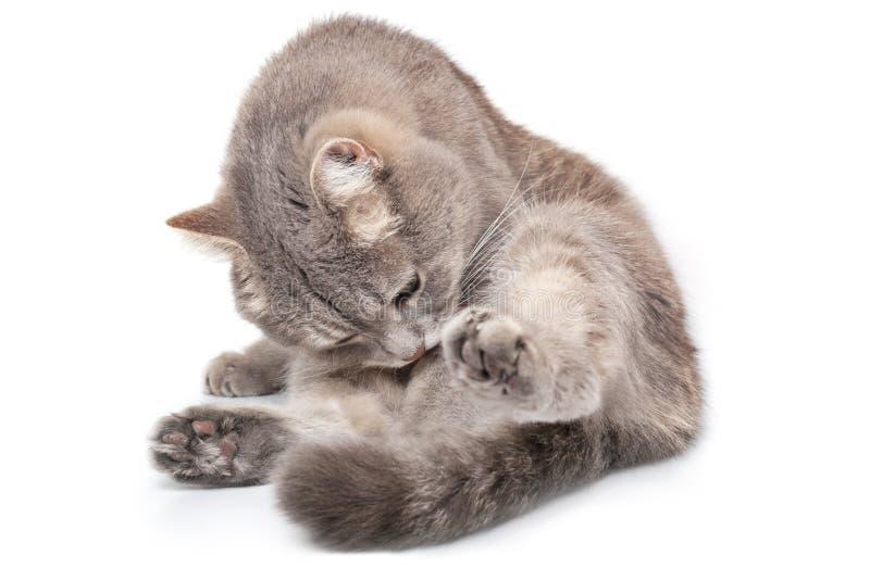 O gato cinzento senta-se em uma parte inferior e é lambido, é isolado no whit fotos de stock royalty free