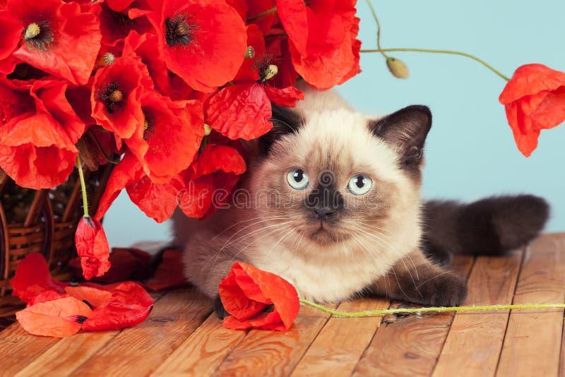 O gato com papoilas floresce o encontro na tabela de madeira imagem de stock royalty free
