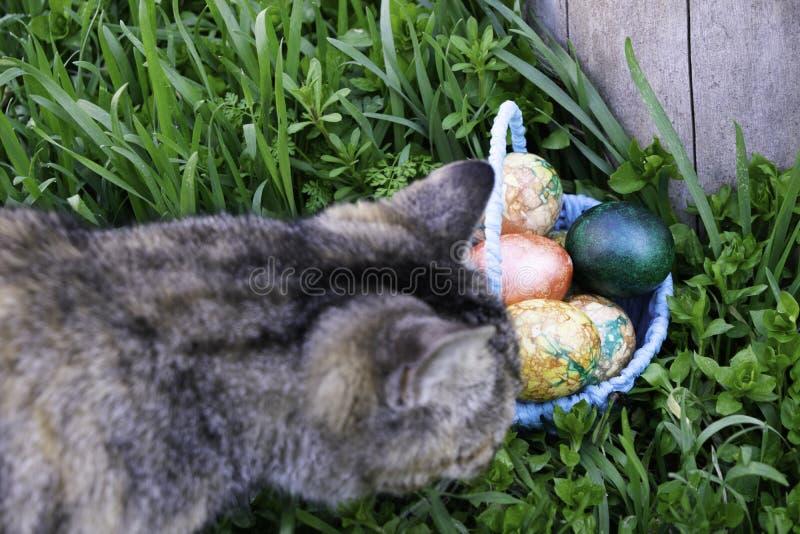O gato curiosamente cinzento aspira uma cesta azul com os ovos da páscoa que estão na grama verde perto do coto imagem de stock