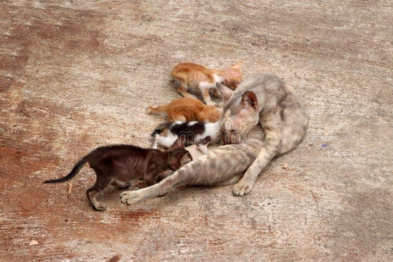 O gato da mãe está alimentando todos os 4 gatinhos no assoalho concreto fotografia de stock royalty free