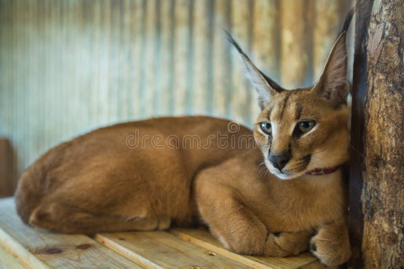 O gato de Caracal, gato grande, gatos isolou o fundo fotografia de stock