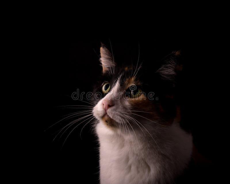O gato de chita com preto, branco e gengibre, olhando acima, iluminou-se de um lado foto de stock royalty free