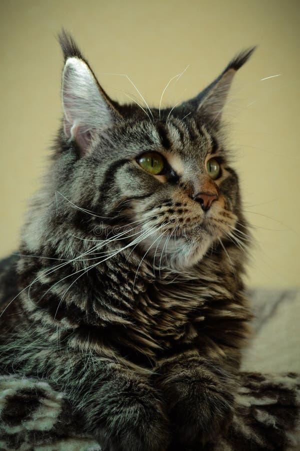 O gato de Maine Coon encontra-se em um fundo amarelo bege e olha-se irritadamente e seriamente certo Retrato vertical fotos de stock royalty free