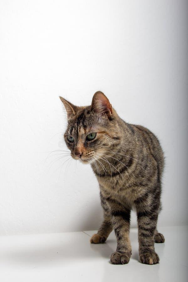 O gato de gato malhado cinzento est? olhando algo foto de stock