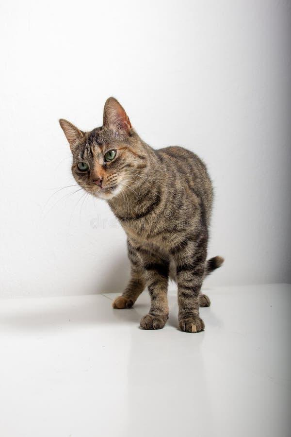 O gato de gato malhado cinzento est? olhando algo imagem de stock
