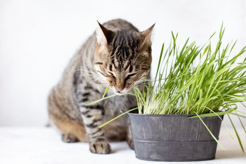 O gato de gato malhado come a grama verde fresca Grama do gato Alimento ?til para animais fotos de stock