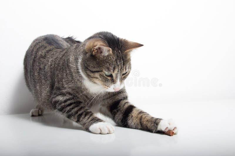 O gato de gato malhado está jogando com alimento fotos de stock