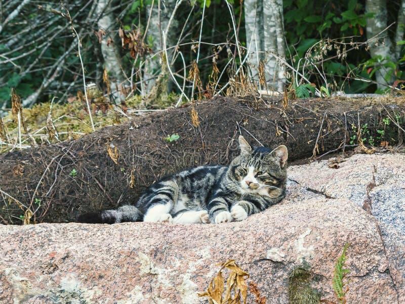 O gato de gato malhado grande bonito encontra-se em uma rocha enorme e olha-se o que está acontecendo ao redor fotografia de stock royalty free