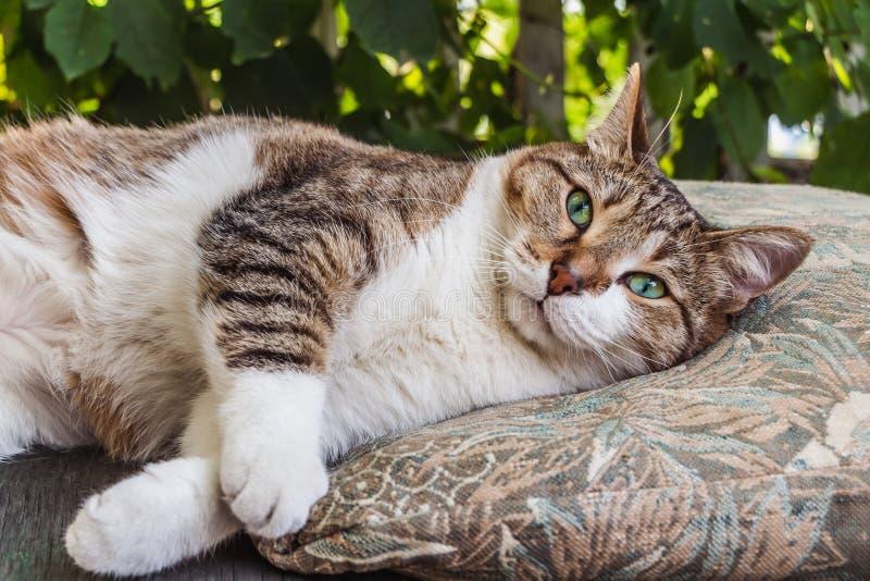 O gato de gato malhado novo adulto bonito com olhos verdes e o nariz molhado de veludo marrom encontra-se mentiras do gato em um  imagem de stock