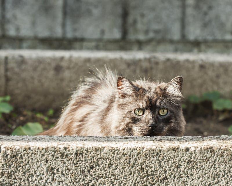 O gato de prata hidding atrás de uma parede foto de stock