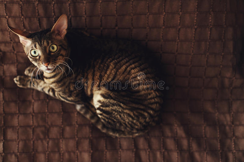 O gato descascado assustado encontra-se em um tapete marrom foto de stock